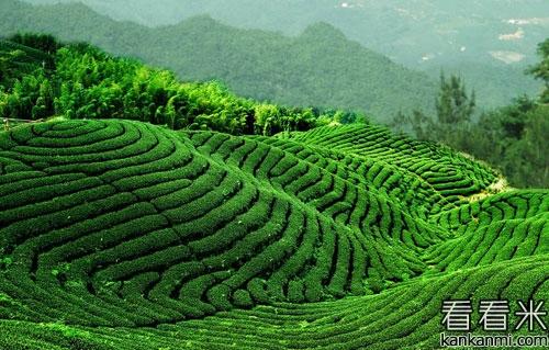 80后瑶乡青年回乡创业 种茶让他尝到成功的喜悦